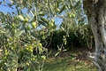 Olivenbaum im Privatgarten - ulivo nel giardino privato